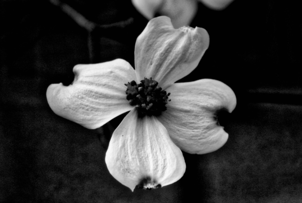 Bloom_BW_LindaJamesPhotography_MM