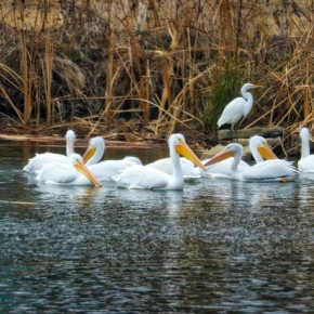 Visiting Pelicans