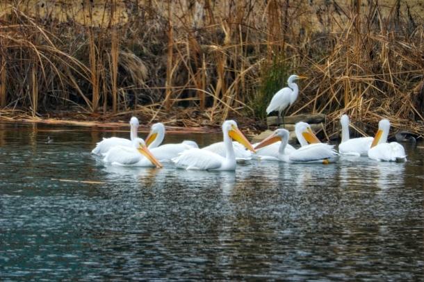 Pelicans_LindaJamesPhotography_S