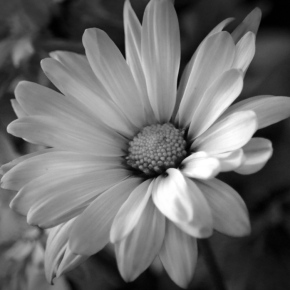 White Petals (MM)